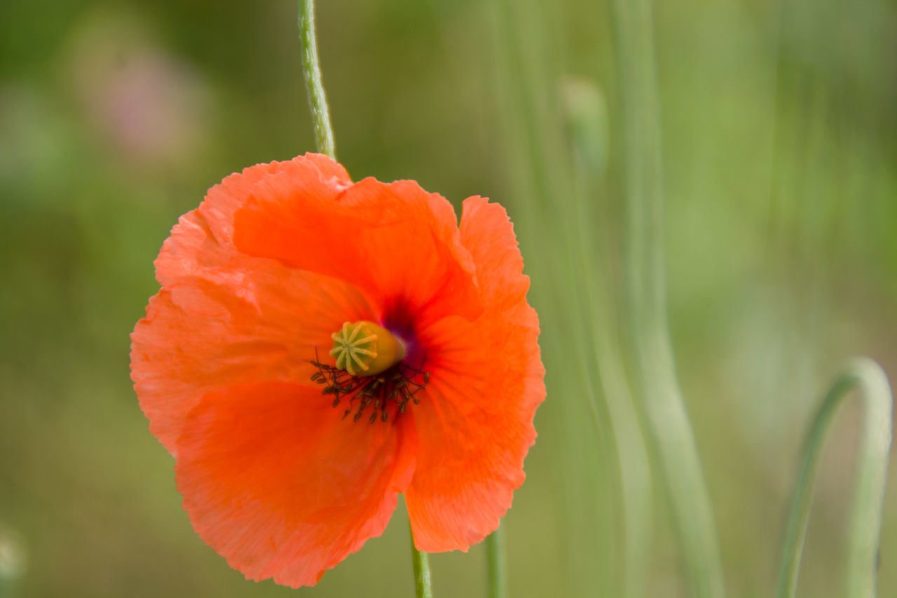 flower, fragility, petal, growth, nature, freshness, beauty in nature, flower head, focus on foreground, plant, close-up, no people, blooming, outdoors, day, poppy, zinnia