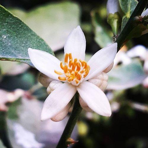 Soon this blossom will turn into lemon Welcomespring Lemon Lemontree Blossom Fruit Gardening Citrusfruit  Growinglemons Nature