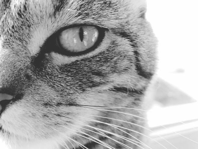 кот няша котэ лапа пупсик шатландец усатик глаз питомец Cat Eye Pets Природа красота животное