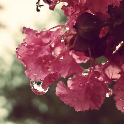Water Flower Rain Cherry Blossoms Florida Smartphonephotography P7taylor Epicearthco