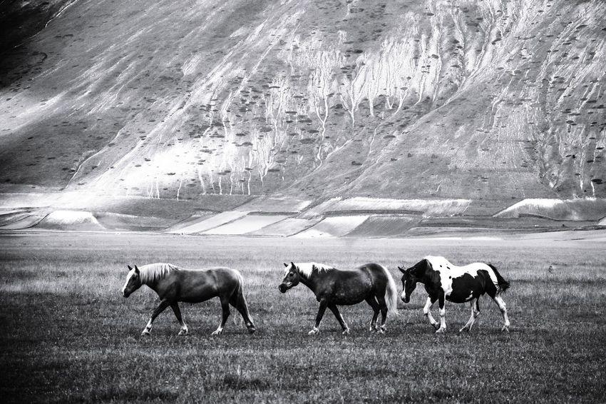 Far West. Blackandwhite Bw Winter Horse Livestock Sky Farm Animal Cow Pasture Dairy Farm Group Of Animals The Traveler - 2018 EyeEm Awards