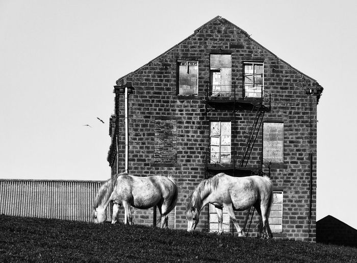Horses grazing against abandoned house