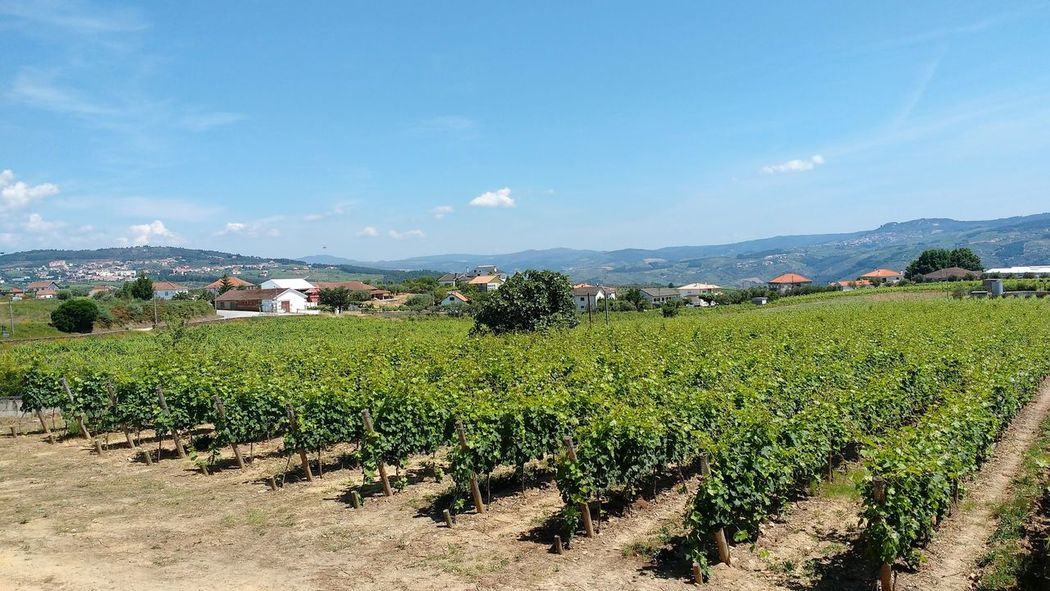 Agriculture Crop  Cultivated Land Duoro Valley Farm Field Grapes Growth Mountain Pinhão Plants Port Wine Production Rural Scene Vine Vineyard Winemaking Alto Duoro Quinta