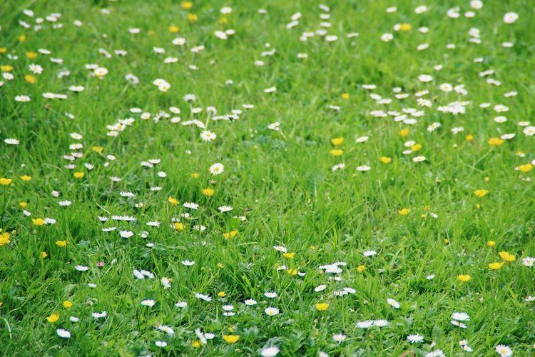 Grass Flower Green Color Nature Field Selective Focus Summer No People Grass Area Growth gänseblümchen