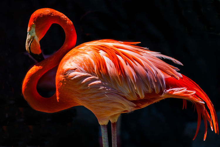 Animal Themes Animal Wildlife Animals In The Wild Beauty In Nature Bird Close-up Day Flamingo Focus On Foreground Nature No People One Animal Orange Color Outdoors Water