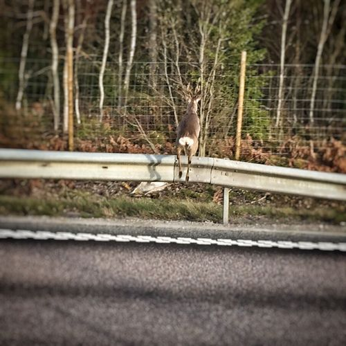 Deer Jumping Fence Landscape_Collection Pictureoftheday Eye Em Around The World Taking Photos North Trucking Streamzoofamily Animals In The Wild Animal Photography Wildlife