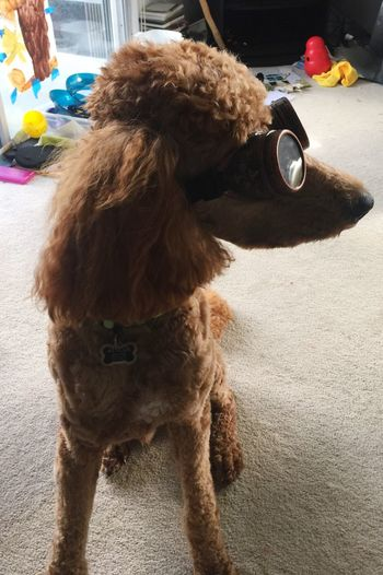 Steampunk poodle Dog Pets Happiness Atticus Love ♥ Goggles Dogs Poodle Steampunk Funny Puppy Pet Portraits