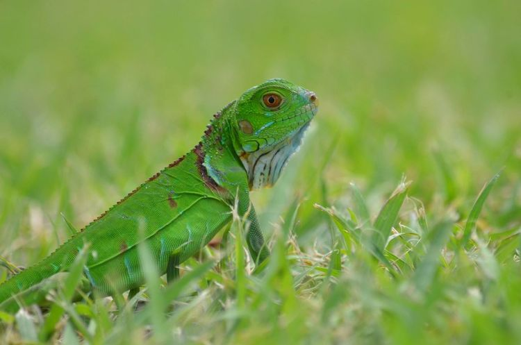 #ChurchFlow #iguane #Martinique #ShutUpAndTakePicture #iguana Animal Wildlife Animals In The Wild Green Color Nature No People One Animal Outdoors Reptile