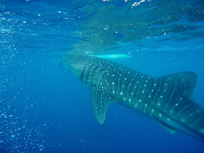 Cebu Whaleshark Cebu Oslob Photography Philippines UnderSea Sea Life Whale Shark Swimming Sea Underwater Humpback Whale Whale Blue Fish Majestic Spotted Animal Markings