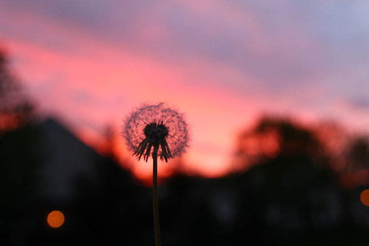 Close-up of dandelion against orange sky