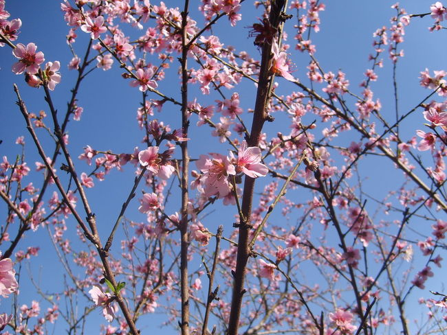 Cerejeiras Em Flor Cerejeira Nature Tree Beauty In Nature Pink Color Growth Branch Flower Low Angle View Springtime No People Blossom Outdoors Freshness Sky Day Fragility Close-up Flower Head Plum Blossom Kikosene EyeEm Gallery Brazil Eyeemphotography