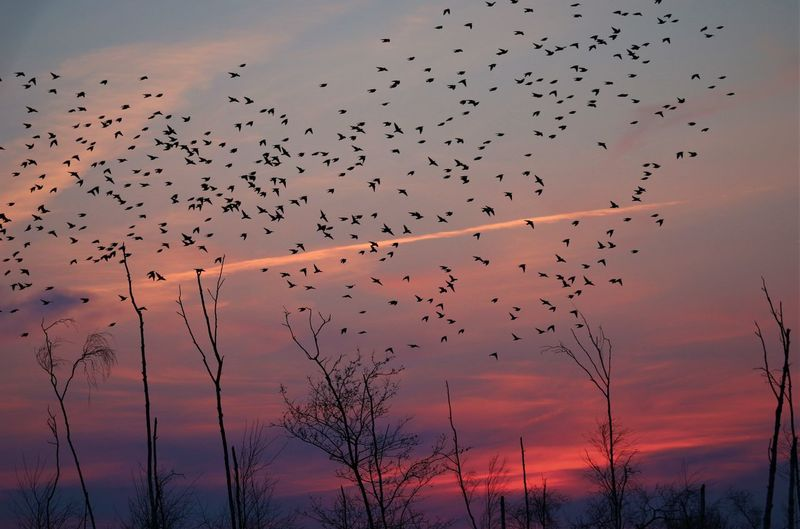 Flock od bireds in front a pink sunset sky.