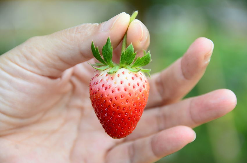 Freshness Fruit Red Close-up Food Strawberry Human Hand Strawberries Minimal Vitamin Red Fruits Red Color Thailand