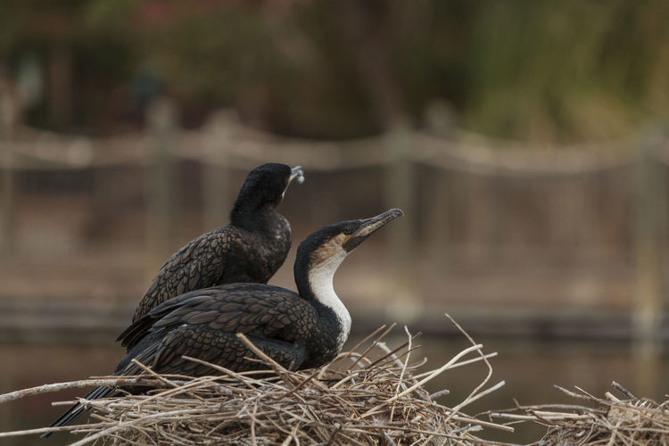 Crested Cormorants Perching On Nest