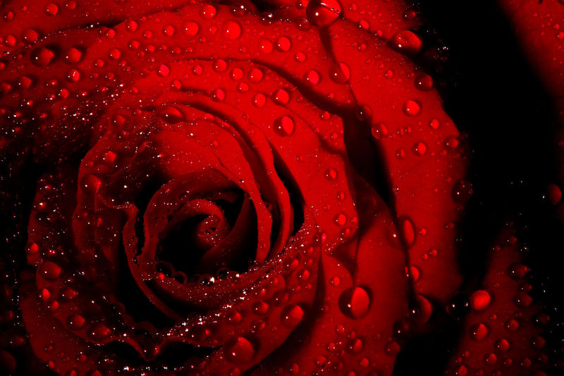 Rose - Flower Roses🌹 Waterdrops Water Red Concentric RainDrop Fragility Wild Rose Single Rose Single Flower Flower Head