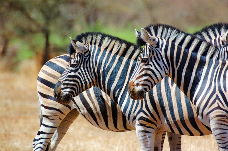 Zebras On Field During Sunny Day