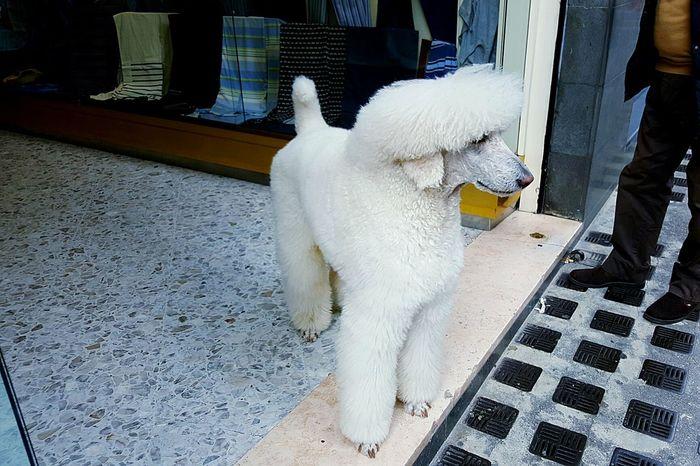 Dog Animal Market White Pudel
