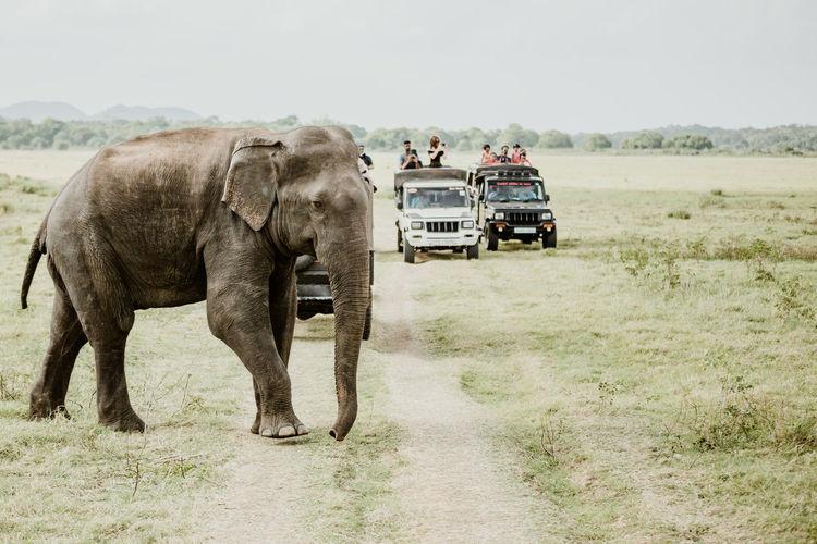 Sri Lanka African Elephant Animal Animal Themes Animal Trunk Animal Wildlife Animals In The Wild Asian Elephant Day Elephant Environment Field Grass Group Of Animals Herbivorous Land Landscape Mammal Minneriya National Park Nature Outdoors Plant Safari Sky Transportation Vertebrate