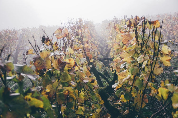 Agriculture Autumn Beauty In Nature Bourgogne Burgundy Close-up Day Fog Foggy Freshness Growth Landscape Leaf Lines Nature No People Outdoors Plant Rural Scene Sky Tree Vines Viticulture Winter Winter