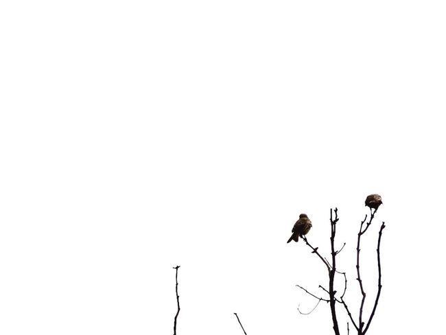 It ain't great but it's a start. Birds First Eyeem Photo White White Background Minimal Minimalism Minimalist Tree Branch Sky ElSalvador  Elsalvadorimpresionante Sivar