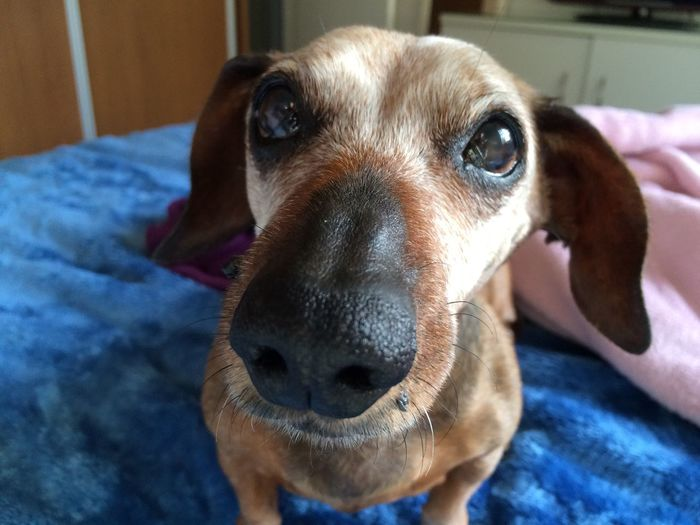 Inconditional Love  My Dog Aging Sausagedog Dogs Of EyeEm Senior Dog 14 Years Old Dog Portrait Age Of Wisdom Love Dachshund Cute EyeEm Gallery Adorable Dog Canine Pets Domestic Animals Mammal Close-up Focus On Foreground Indoors  Portrait Bed
