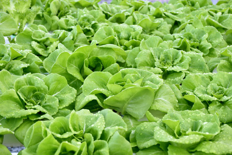 Butterhead Lettuce salad plant Backgrounds Beauty In Nature Close-up Day Food Freshness Full Frame Green Color Growth Healthy Eating Hydroponic Lettuce Leaf Nature No People Outdoors Plant Vegetable Salad