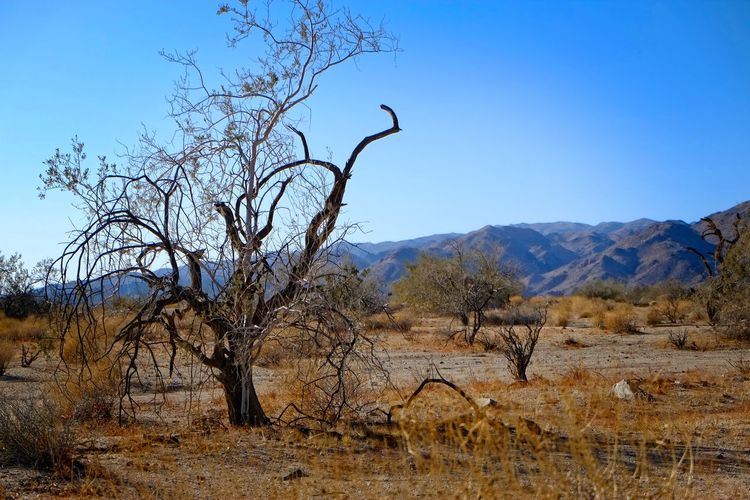 Bare trees on landscape against clear blue sky
