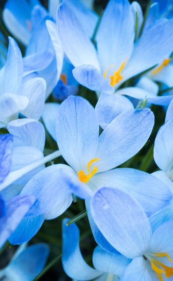 Flowering Plant Flower Plant Petal Fragility Beauty In Nature Growth Vulnerability  Close-up Freshness Inflorescence Flower Head No People Nature Blue Full Frame Purple Outdoors Day Botany Bright Crocus