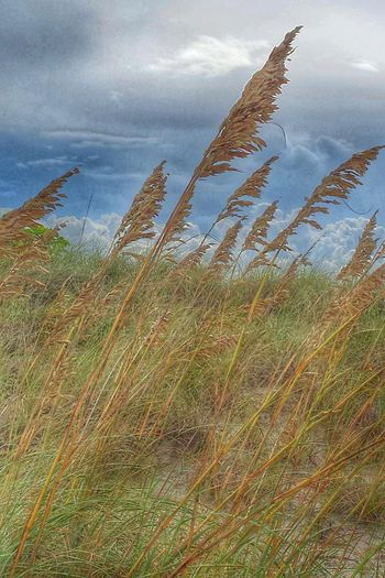 At The Beach Dune Grass Clouds And Sky Sebastian, Fl Sand Dunes Don't Walk On The Dunes
