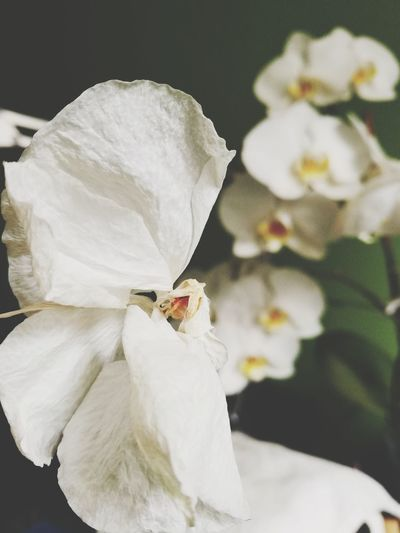 Flower White Color No People Close-up Rose - Flower Fragility Bouquet Orchid EyeEmNewHere BYOPaper!