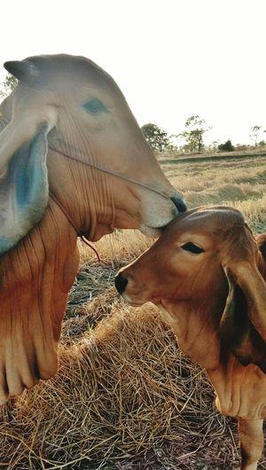 Cow and calf (Love) Kiss ผูกพัน Cow Cow And Calf Calf Red Animal Themes Animals แม่วัว ลูกวัว ประเทศไทย Thailand ชนบท ทุ่งนา Countryside อีสาน ชาวนา Farmer Farm Love แม่ลูก รัก One Person Sand Day Nature Shades Of Winter