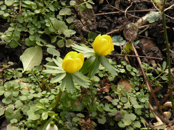 Nature Growth Plant Yellow Petal Beauty In Nature Flower Head Flower Freshness Fragility Outdoors Close-up No People Green Color Day Eranthis Eranthis Hyemalis Spring Flowers Springtime Spring Aconite Winter Aconite Erantis - in The Danish Countryside