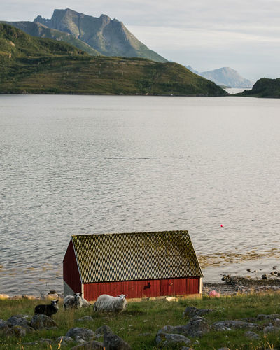 Kilboghavn Animal Themes Architecture Beauty In Nature Fjord Golden Hour Grass Lake Mountain No People Nordland Outdoors Scenics - Nature Sheep Tranquil Scene Tranquility Water