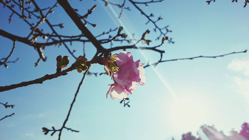 Cherry Blossoms Sunny Day Sakura Hanami Flower Japan Photography Japon Showcase: February Japan XPERIA Xperia Z4 No People Buds Sunlight Pastel Power Nature's Diversities Ultimate Japan Streetphotography Fine Art Photography