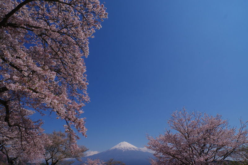 Low angle view of cherry blossom tree against blue sky