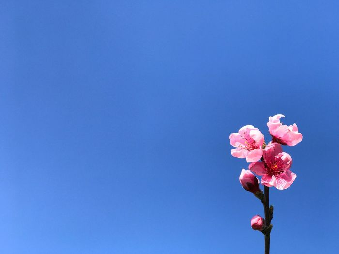 Peach flower Flowering Plant Flower Pink Color Beauty In Nature Plant Freshness Blue Nature Vulnerability  Fragility Petal Copy Space Growth Sky Flower Head No People Day Close-up Blossom Clear Sky