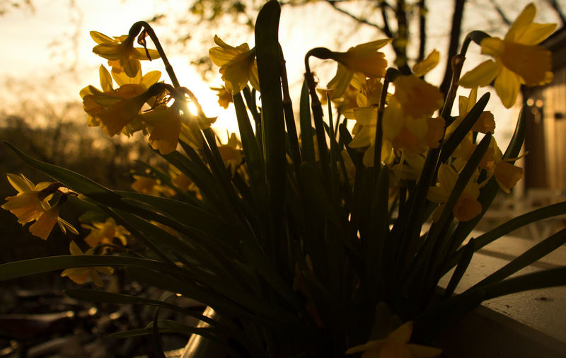 Close-Up Of Potted Yellow Daffodils Against Sunlight