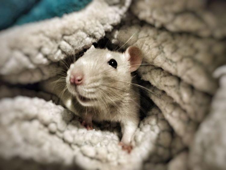 EyeEm Selects Pet Rat One Animal Pets Tan Rat Cute Rat Single Rat Rat Under Blanket