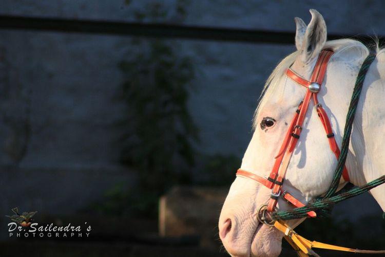 White hoarse