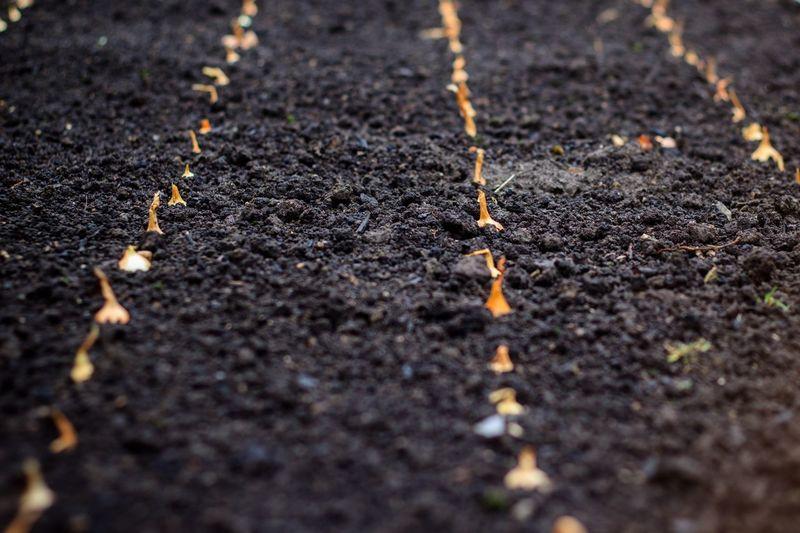 Outdoors Garden Farming Zwiebeln Garten Einpflanzen Erde Frühling Reihen Rows