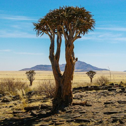 Nature Tranquil Scene Arid Landscape Dry Namibia Remote Arid Climate Beauty In Nature Tranquility Landscape Scenics Veld Tree Quivertree