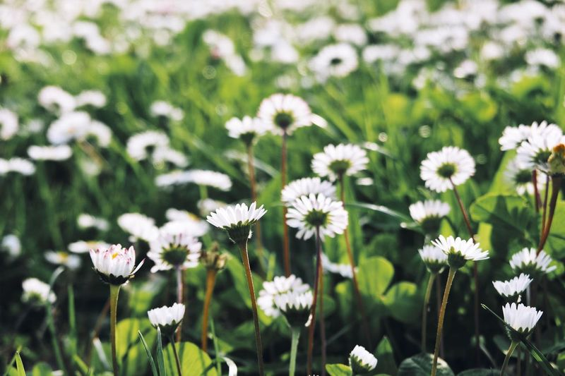 Flowering Plant Flower Plant Freshness Growth Fragility Vulnerability  Inflorescence Field Focus On Foreground Close-up Flower Head White Color Nature No People Beauty In Nature Daisy Petal Land Day