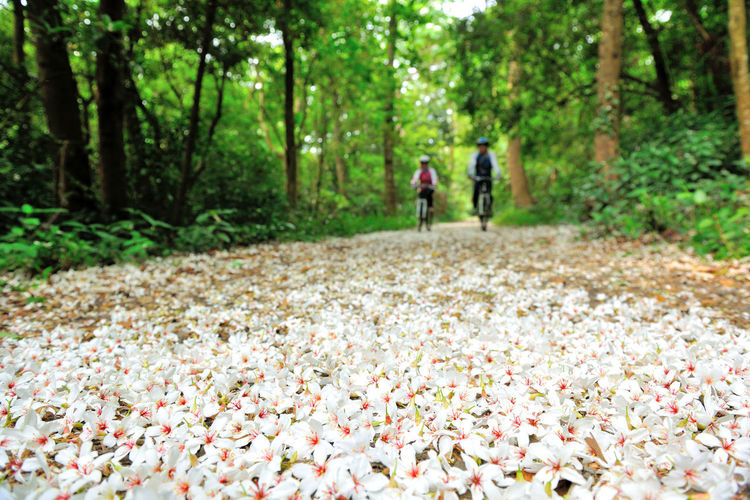 Quiet forest, floating under the white tung flowers, covered with country roads. Falling Natural Adult Adults Only Autumn Beauty In Nature Bicycle Day Falling Flowers Forest Fresh Leaf Leisure Activity Men Movement Nature Outdoors People Plant Flowers Real People Tree Tung Blossom Two People White Flowers Women