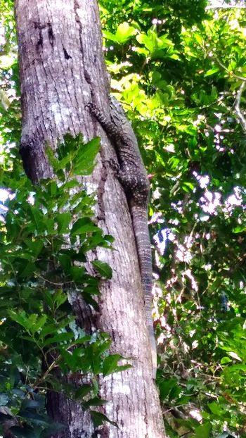 Lace monitor Tree Tree Trunk Growth Nature Day Outdoors Beauty In Nature No People Forest Close-up Rainforest Australia Sunlight Rainforest Qld Tropical Climate
