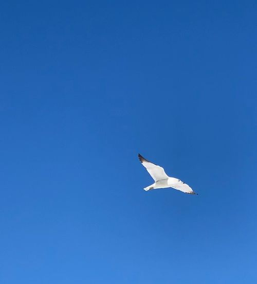 Bird Blue Animals In The Wild Animal Animal Themes Vertebrate Animal Wildlife One Animal Sky Clear Sky Flying No People Outdoors Low Angle View Nature Mid-air Beauty In Nature Day Copy Space Spread Wings