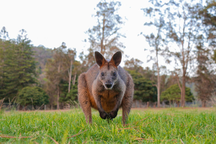 A portrait of a wild wallaby/kangaroo looking at the camera.