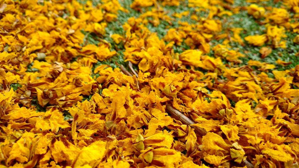 Yellow world First Eyeem Photo Pattern Close-up Textured  Backgrounds Full Frame Nature Beauty In Nature Environment Flowers Petals Flower Bed Flowers On The FloorGrass And Flowers Yellow Flowers Close Up Nature Yellow Flower Garden Yellow Floor Mumbai