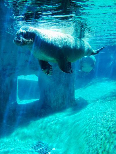 Tacoma zoo Truckersjourney Tacoma Zoo Walrus UnderSea Water Scuba Diving Underwater Swimming Sea Sea Life Blue Close-up