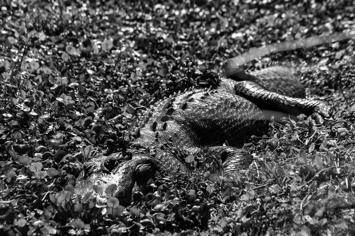 Alligator Alligator Black And White