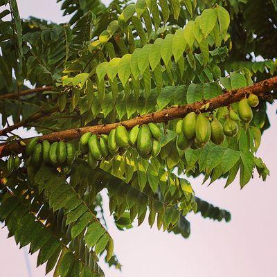 Belimbing wuluh. Green_green Green Fruits Plant manisan